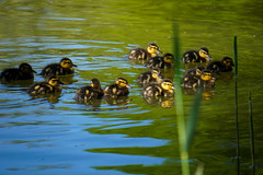 Mallard Duck Chicks (Anas platyrhynchos) - Stockentenkken (flyingderli) Tags: urban beautiful germany flying duck pond small young ducks hannover chick chicks mallard enten rathaus ente biddy fledgling petit neues derli kken poult entendame flyingderli