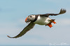 Fisher- puffin, Fratercula arctica (Billy Clapham) Tags: ocean sea summer fish bird birds flying northumberland parent northsea breeding 70300mm farneislands vr colony seabird seabirds sandeels thefarneislands nikon70300mmvr fraterculaarcticapuffin nikond7100