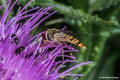 Hoverfly_Episyrphus balteatus04.jpg (T9FURY) Tags: july hoverfly rutlandwater 2016 episyrphusbalteatus
