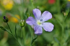Thésée-la-Romaine (Loir-et-Cher) (sybarite48) Tags: blue france flower fleur azul blauw blu linen flor bleu blau lin 花 blume fiore niebieski 青 mavi lino bloem çiçek loiretcher زهرة linnen kwiat 鲜花 белье синий 蓝色 цветок biancheria λουλούδι أزرق μπλε linho keten leinen リネン كتان bielizna théséelaromaine λινό 亚麻布
