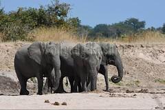 10075757 (wolfgangkaehler) Tags: africa elephant mammal nationalpark digging african wildlife dry zambia africanelephant babyelephant southernafrica animalbabies babyanimal babyanimals 2016 zambian dryriverbed southluangwanationalpark animalbaby africanelephantloxodontaafricana diggingforwater