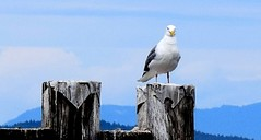 Seagull (Jane Olsen ( Chardonnay)) Tags: summer mountain mountains outdoors britishcolumbia seagull posts sidney skyclouds
