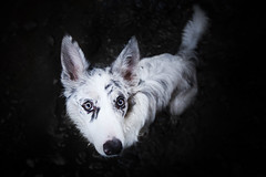 CuteFace (Alicja Zmysowska) Tags: dog dogs border collie slate merle