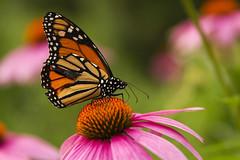 Mariposa (Ronald Castillo) Tags: ny newyork butterfly ronald centralpark flor mariposa boken mariposamonarca monarca ronaldcastillo