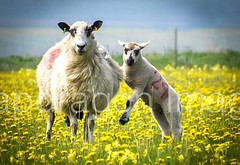 Are you looking at me (Snapdragon Lincs) Tags: cute field yellow countryside funny sheep farm lincolnshire mum lambs playful caistor ewe