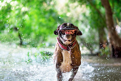 my beautiful baby :) (Tams Szarka) Tags: dog pet puppy animal cute fun funny tongue boxerdog boxer outdoor nature forest water river