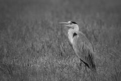 Grauer Graureiher... (florianpluecker) Tags: white black bird heron grey schwarz vogel reiher weis graureiher