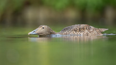 Eider (Somateria mollissima). (dave.mcculley) Tags: eider duck bird nature outdoors wildlife water low pov martinmere captive