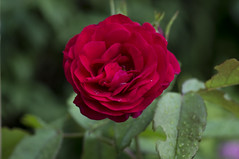 Rote Rose (milance1965) Tags: rot rose sony alpha roterose sonya55