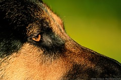 the dog. (Swaja's Aviation Art) Tags: nikon d5100 german shepherd dog
