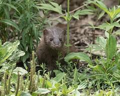 Nosy little critter (Melinda G Pix) Tags: animal critter outdoor wildlife nature mink