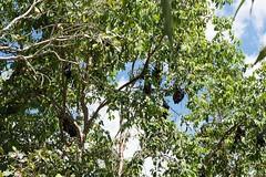 Katherine Gorge Northern Territory bats in tree-2