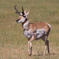 IMG_8481 Pronghorn (cmsheehyjr) Tags: nature wildlife antelope yellowstone wyoming pronghorn colemansheehy cmsheehy