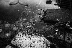 (s_inagaki) Tags: puddle plant reflection tokyo japan monochrome blackandwhite bnw bw