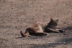 IMG_6715 - Pourquoi tu me regardes toi ? (heuliez142011) Tags: chat cat flin calvados14 outdoors road street rue animaux heuliez142011