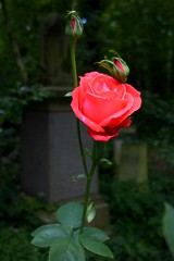 rose (kevinandmclean) Tags: rose flower red cemetry abneypparkcemetry stokenewington hackney contrast dark shadow rosebuds lifeanddeath