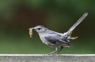 Gray Catbird 1Z9A3104