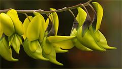 Canary bird bush (Crotalaria agatiflora) (Foto Martien) Tags: canarybirdbush birdflower rattlebox queenslandbirdflower voëltjiebos kanariebosje kanariestruikje vogelblume kanarienbusch kanarienvogelbusch canarybirdbäumchen crotalariaagatiflora eastafrica tree bush shrub boom struik tropical tropisch flower bloem blume fleur flor yellow green lemon passiflorahoeve harskamp zorgboerderij zorginstelling veluwe netherlands nederland holland dutch geotagging geotaggedwithgps geotag slta77v a77v sonyalpha77 a77 slt sony alpha macro macrophoto minoltamacro100mm28mm martienarnhem martienuiterweerd fotomartien