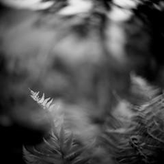 Ferns by Birkett's Leap (Mark Rowell) Tags: rosthwaite borrowdale cumbria lakedistrict uk hasselblad 2000fc petzval petzvar 6x6 120 mediumformat square bw film