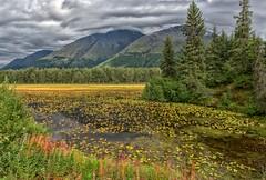 Moody Marsh (Philip Kuntz) Tags: marsh bog frog lilypads sewardhighway seward alaska