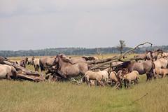 Konik horses (Beyond the grave) Tags: oostvaardersplassen flevoland netherlands horses konikhorses newnature polder belowsealevel landscape