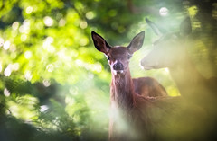 calf (DaniConnor1995) Tags: wildlife deer calf baby summer forest woodland london nature explore