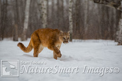 Cougar in snow Tekiela TAN9562 (Stan Tekiela's Nature Smart Wildlife Images) Tags: allrightsreserved authornaturalistwildlifephotographer cougarpumaconcolorcaptive mammals vertebrates vertibrate mammalia fur hair terrestrial land animal minnesota unitedstatesofamerica usa naturesmartimagesbystantekiela stantekiela copyright allrightsreservered stockimage professionalphotographer images wildlife animals nature naturalist wild stockphotos digitalimages critter stockimages undercontroledcondtions snow winter
