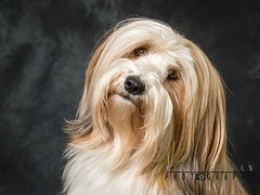 Tibetan Terrier (Karl Redshaw Photography) Tags: terrier agility animal companion dog domestic friend loyal mamal pet puppy tibetan