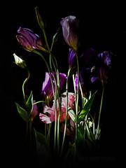 The Standout (MacroMarcie - scarce 'til mid-sept but not quittin) Tags: hss slidersunday flowers arrangement still life stilllife fuji x20 photoshop light dark nature flower color colorful