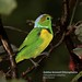 Golden-browed Chlorophonia, Chlorophonia callophrys