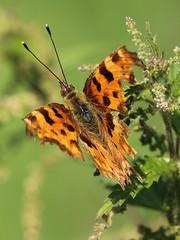 Comma damaged (Wildlife Terry Behind Again.) Tags: comma butterfly damaged wheelock sandbach cheshire summer 2016 cheshirewildlifenatureamateurphotography igitto