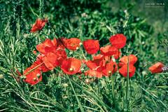 [ #227 :: 2016 ] (Salva Mira) Tags: roselles amapolas poppies flors flores flowers primavera spring planes barrancdelencantada pasvalenci salvamira salva salvadormira