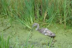 jonge zwaan in het kroos (JANKUIT) Tags: nederland noordholland spaarndam jonge zwaan kroos