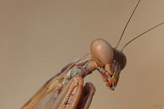 Mantide II (Franco Gavioli) Tags: 2016 fragavio francesco gavioli canoneos600d canonef100mmf28macrousm yongnuoyn568exiiettl sicilia sicily augusta macro bug mantis mantide