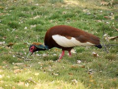 IMG_3635 (carolnyny) Tags: anjajavy bird ibis madagascar