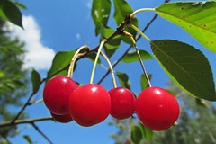 Summer cherries :) (green_lover) Tags: cherries fruits food nature red thechallengefactory winner