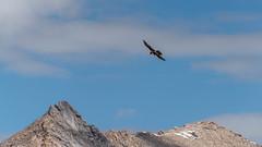 Lammergeier, from Chang La road,  bit north of Zingral (faram.k) Tags: bif beardedvulture bird ladakh lammergeier mountains ossifrage vulture