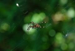 Lesser Garden Spider (Duncan.B) Tags: wwtbarnes wildlife london spider arachnid lessergardenspider metellinasegmentata samsung samsungnx nx10