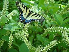 Tiger Swallowtail (jHc__johart) Tags: bush plant butterfly kansas opksarboretum opagc tigerswallowtail