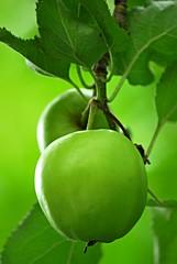 Adams Apfel? (FrauN.ausD.) Tags: apfel frucht food green grn garten obst lebensmittel fruit