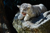 Tigre blanc   White tiger (jordanc_pictures) Tags: animal animals zoo zoodamnéville tigre tigreblanc tiger whitetiger