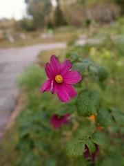 Höstens sista blomma (nilsw) Tags: fotosondag fs161009 fargstarkminimalism
