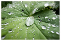 Crying leaf (leo.roos) Tags: vrouwenmantel ladysmantle alchemilla leaf blad leaves bladeren raindrops regendruppels a7s sonye1628 dayprime pancakeweekend dayprime2016 dyxum challenge prime primes lens lenses lenzen brandpuntsafstand focallength fl darosa leoroos