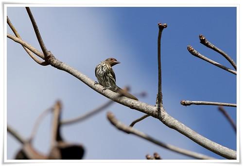 Green Figbird@Rote Island_160805_8