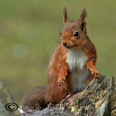 Red Squirrel. (Olive Taylor. Thank you for your visit.) Tags: redsquirrel wildlife woodland trees nature northeastengland fur tufty ears native cute canon