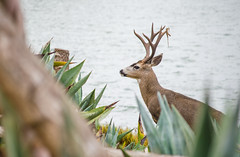 Oh Deer! (UniquelyHis4ever) Tags: deer dear water ocean angelisland animal wildlife creature coast wild nature closeup