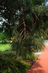 Grevillea robusta, Silky Oak (betadecay2000) Tags: street city november orange tree green yellow oak australia darwin charlesdarwin gelb cbd australien grn baum silky grevillea australie eiche 2014 austral tropen tropisch robusta grevillearobusta silkyoak immergrn darwincbd darwincity mcminnstreet silbereiche australischesilbereiche