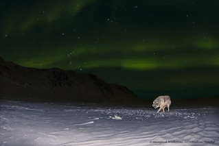Wolf under the Aurora v2
