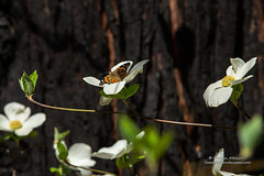 King of the Dogwoods - Yosemite National Park (Darvin Atkeson) Tags: flower tree beautiful beauty forest butterfly river nationalpark spring merced bark valley yosemite monarch redwood dogwood delicate sequoia darvin atkeson darv lynneal yosemitelandscapescom