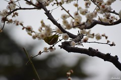 The tiny Japanese White Eye.. (Shubhashish Chakrabarty) Tags: bird birds japan spring nikon plum sigma 日本 yokohama ume 横浜 plumblossom whiteeye 梅 春 目白 めじろ hodogayapark 保土ヶ谷公園